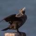 Aalscholver – Cormorant