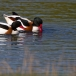 Bergeend – Shelduck