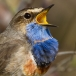 Blauwborst – Bluethroat