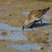Bonte strandloper &#8211; Dunlin