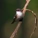 Bonte vliegenvanger – Pied Flycatcher