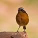 Diadeemroodstaart – Moussier's Redstart