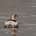 Dodaar – Little Grebe