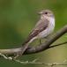 Grauwe vliegenvanger – Spotted Flycatcher