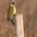 Groene specht – Green Woodpecker
