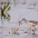 Groenpootruiter &#8211; Greenshank