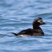Ijseend – Long-tailed Duck