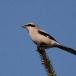 Klapekster – Great Grey Shrike