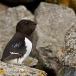 Kleine Alk &#8211; Little Auk