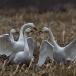 Kleine zwaan – Tundra Swan