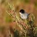 Kleine zwartkop – Sardinian Warbler