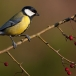 Koolmees – Great Tit