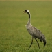 Europese kraanvogel – Common Crane
