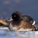 Kuifeend – Tufted Duck