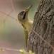 Levaillants specht – Levaillants Woodpecker