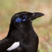 Maghreb ekster – Maghreb Magpie