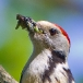 Middelste bonte specht – Middle Spotted Woodpecker