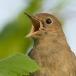 Nachtegaal – Nightingale