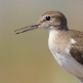 Oeverloper – Common Sandpiper