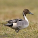 Pijlstaart – Northern Pintail