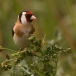 Putter – Goldfinch