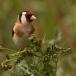 Putter – Goldfinch