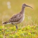 Regenwulp &#8211; Whimbrel