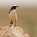 Roodstuittapuit- Red-rumped Wheatear