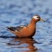 Rosse Franjepoot &#8211; Red Phalarope (Grey Phalarope in Europe)