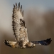Ruigpootbuizerd – Rough-legged Buzzard