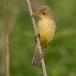 Spotvogel – Icterine Warbler