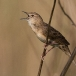Sprinkhaanzanger – Grasshopper Warbler