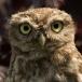 Steenuil – Little Owl
