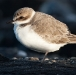 Strandplevier &#8211; Kentish Plover