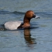 Tafeleend – Common Pochard