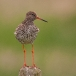 Tureluur &#8211; Redshank