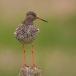 Tureluur – Redshank