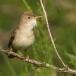 Oostelijke Vale Spotvogel – Eastern Olivaceous Warbler