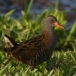 Waterral – Water Rail