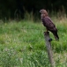 Wespendief – Honey Buzzard