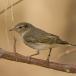 Bergfluiter – Western Bonelli's Warbler