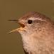 Zangvogels, Papegaaien