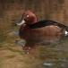 Witoogeend – Ferruginous Duck