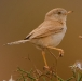 Afrikaanse woestijngrasmus – Desert Warbler