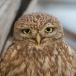 Roofvogels, Uilen, Koekoeken