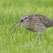 Wulp &#8211; Curlew