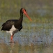 Zwarte ooievaar – Black Stork