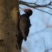 Zwarte specht – Black Woodpecker