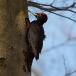 Zwarte specht – Black Woodpecker